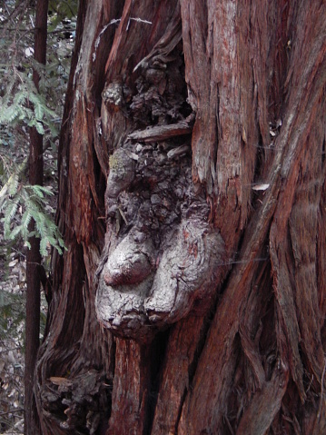 The close up picture of what appears to be a human like face, or goblin, growing out from the bark of a large tree.