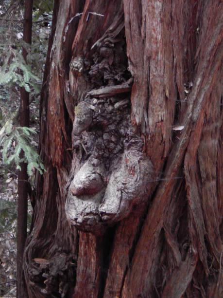 La cara de un duende del árbol ocultando - foto de stock