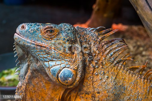istock The face of an American green iguana in closeup, Detailed reptile head, tropical lizard specie from America, popular exotic pet 1220114654