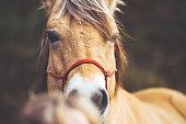 The face of an Norwegian horse