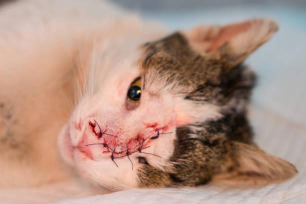 het gezicht van de kat na de operatie om een tumor te verwijderen, de hechting in afzonderlijke punten - ketamine stockfoto's en -beelden