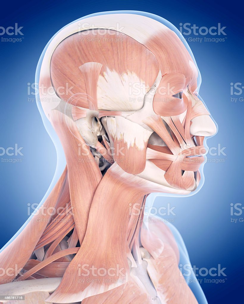 the facial muscles stock photo