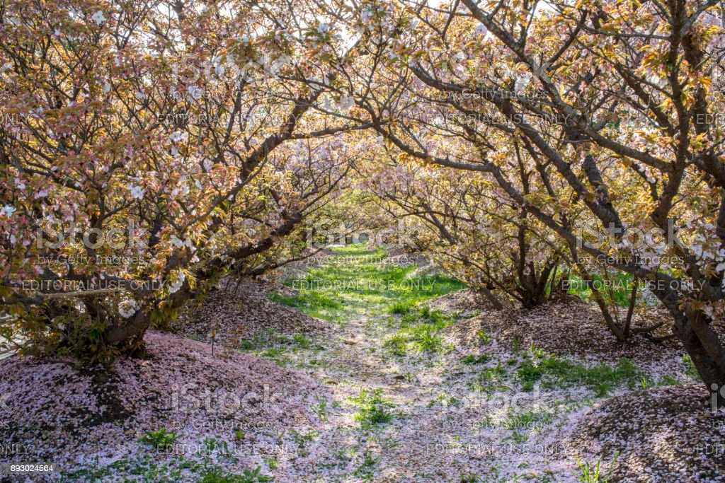 The fallen cherry petals after full blooming at Buddhist temple Ninna-ji stock photo