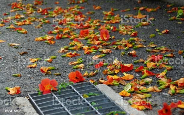 The fallen petals are also beautiful picture id1162318502?b=1&k=6&m=1162318502&s=612x612&h=awg yrkuwytewgvswnjzvob5k5gq7zguapzi u4hbg4=