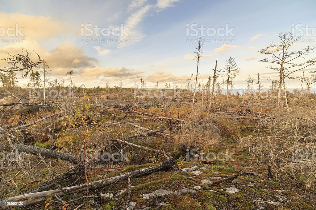 The fallen trees after a storm in autumn wood royalty-free stock photo