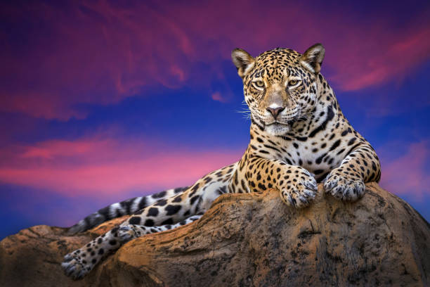The family of monkeys in the wild. The family of monkeys in the wild in the evening naturally. jaguar cat stock pictures, royalty-free photos & images