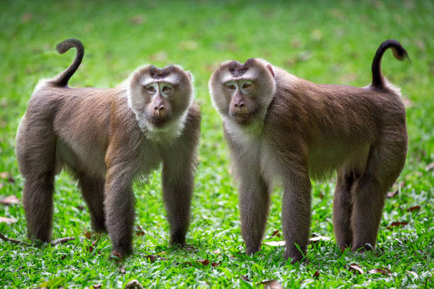 the family of pig-tailed macaque in the nature of the forest. - macaco foto e immagini stock
