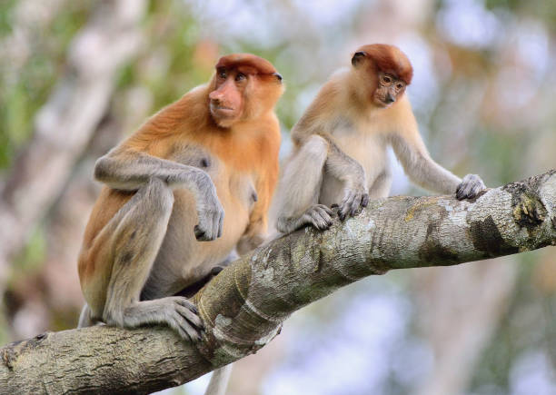 The Family of Proboscis Monkeys sitting on the tree Family of Proboscis Monkeys sitting on a tree in the wild green rainforest on Borneo Island. The proboscis monkey (Nasalis larvatus) or long-nosed monkey, known as the bekantan in Indonesia island of borneo stock pictures, royalty-free photos & images