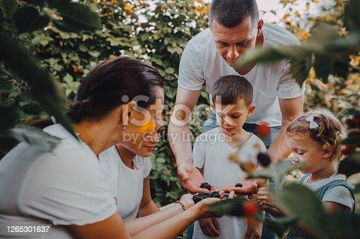 the family picks blackberries