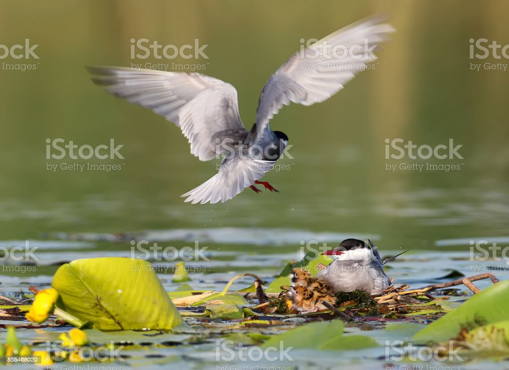 The family whiskered tern stock photo