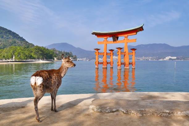 The famous floating Torii Gate in Miyajima Island Japan, Miyajima - Mar 30, 2015: A wild deer is looking at the famous floating Torii Gate in Miyajima Island. miyajima stock pictures, royalty-free photos & images