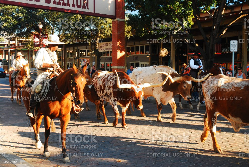 The Famous Ft Worth Stockyards Cattle Drive stock photo