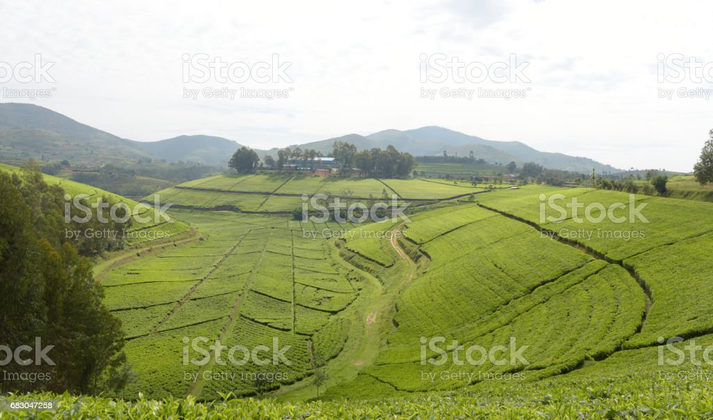The famous tea plantation of Mata close to Kibeho - Rwanda foto de stock royalty-free