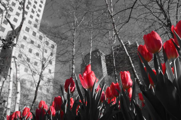 The famous tulip flower in New York - foto stock