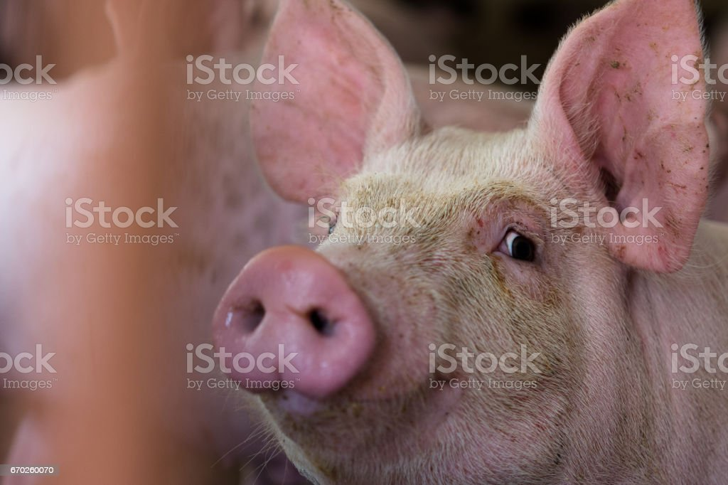 The farm pig ,walking in the sty, look like sad, can't go outside. stock photo