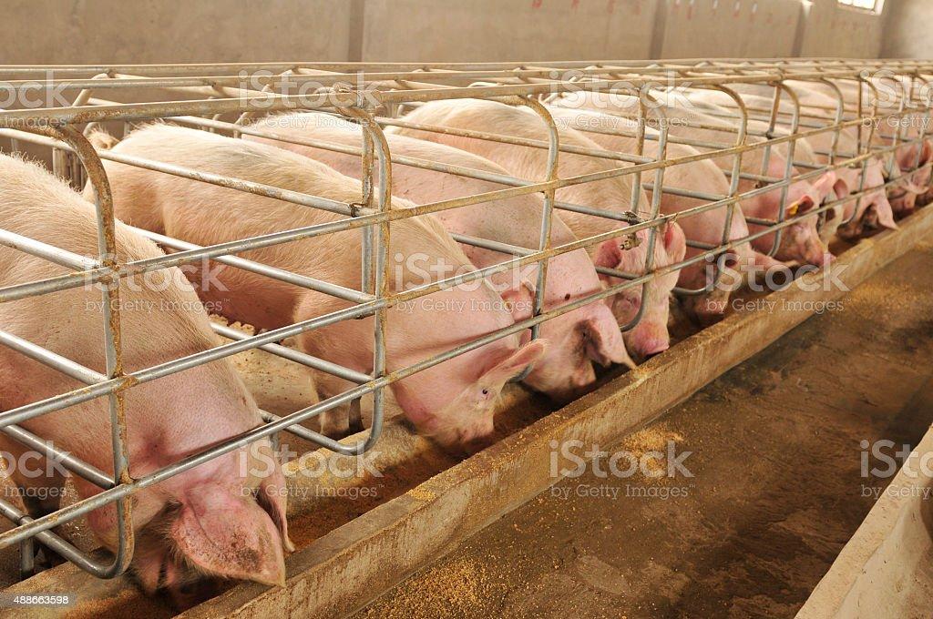 Die farm Schweinen – Foto