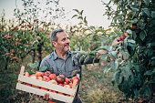 The farmer carries a crate of ripe apples through the orchard, harvesting