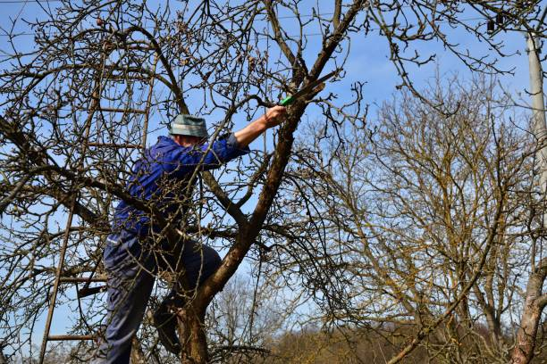 The farmer climbs the ladder to the treetops to cut a dry branch stock photo