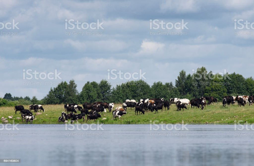 The farmer herd of cows is grazed stock photo