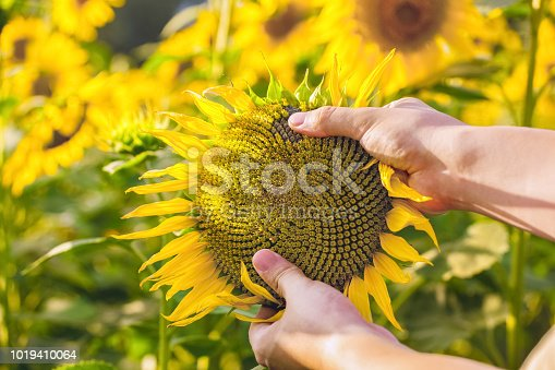 The farmer is holding a blossoming sunflower in his hands and is checking on the field. Agriculture and the cultivation of various plant crops.