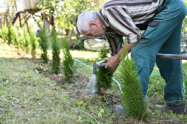 The farmer wateres the Thuja tree using a spray gun and a hose stock photo