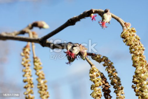 The female flowers of hazel trees ((Corylus) species)  are grouped in little egg-shaped, bud-like tufts. The crimson sticks that look like candy peel are the stigmas, which form a tassel at the top. The flower itself is a two-chambered ovary, surrounded by a velvety cup-like bracteole. The bracteole grows into the large leafy husk or cupule of the nut. This particular tree is a Turkish hazel. Taken at high magnification, early March 2010.