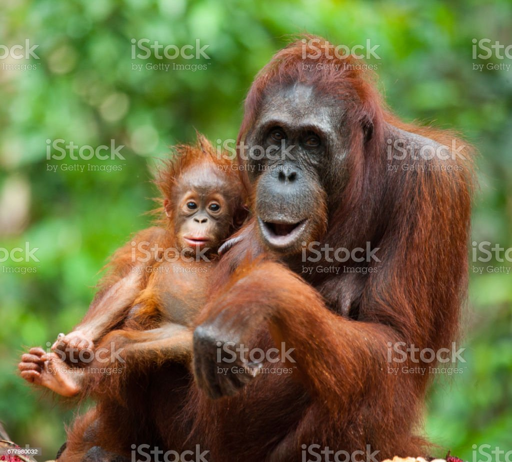 The female of the orangutan with a baby on ground. stock photo