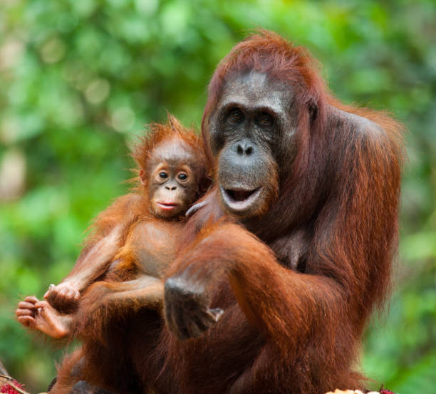 The female of the orangutan with a baby on ground. The female of the orangutan with a baby on ground. Indonesia. The island of Kalimantan (Borneo). An excellent illustration. orangutan stock pictures, royalty-free photos & images