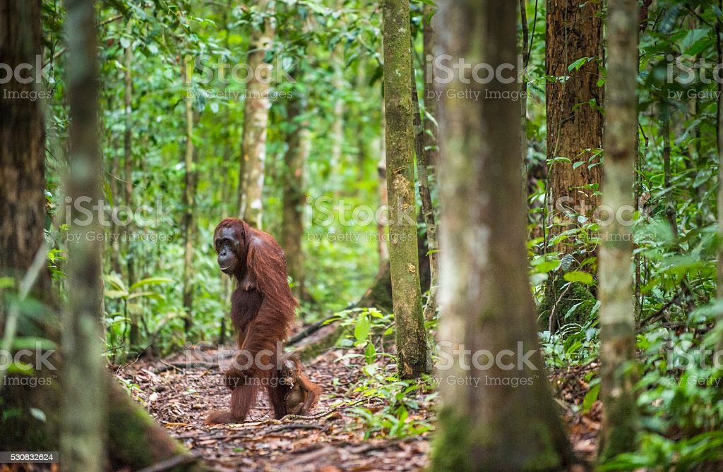 The female of the orangutan with a cub. stock photo
