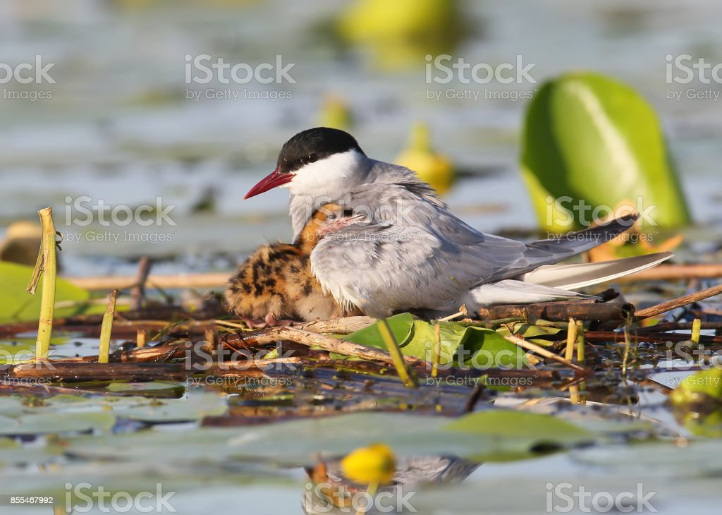 The female of the whyskered terns warms the chicks under the wings. stock photo