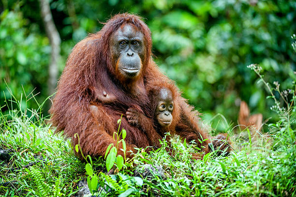 The female orangutan with a cub stock photo