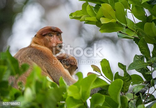 A female proboscis monkey (Nasalis larvatus) with a cub in a native habitat.  Long-nosed monkey, known as the bekantan in Indonesia.  Endemic to the southeast Asian island of Borneo. Indonesia