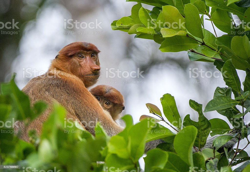 The female proboscis monkey with a cub stock photo