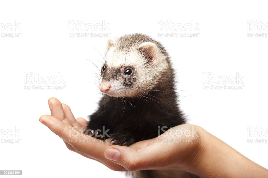 The ferret sits on a child's hand isolated stock photo