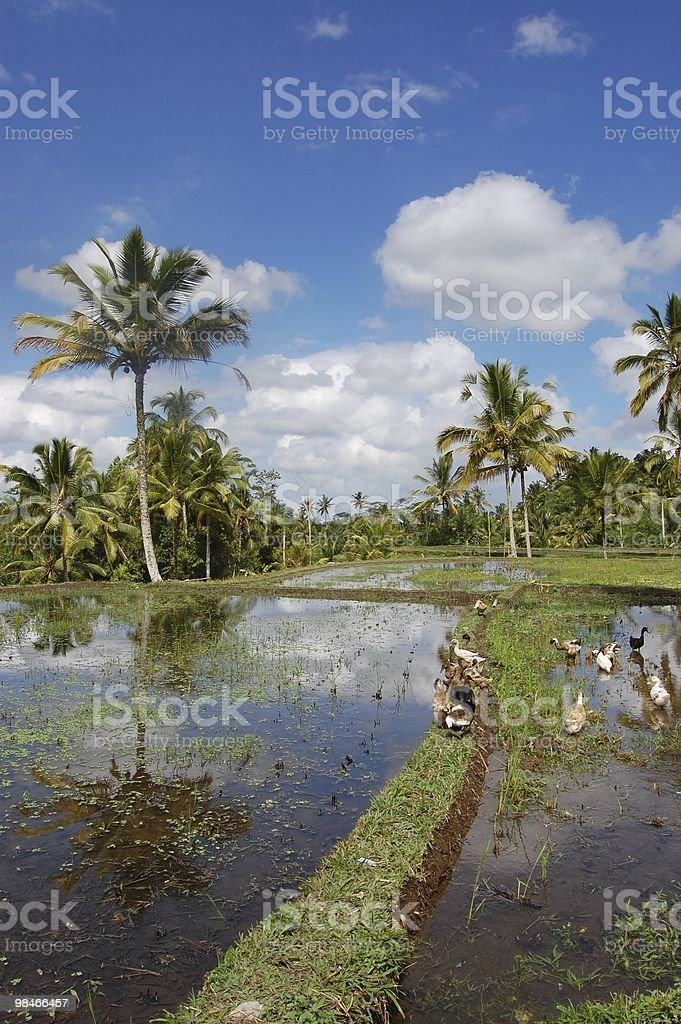 Il campo in Asia foto stock royalty-free