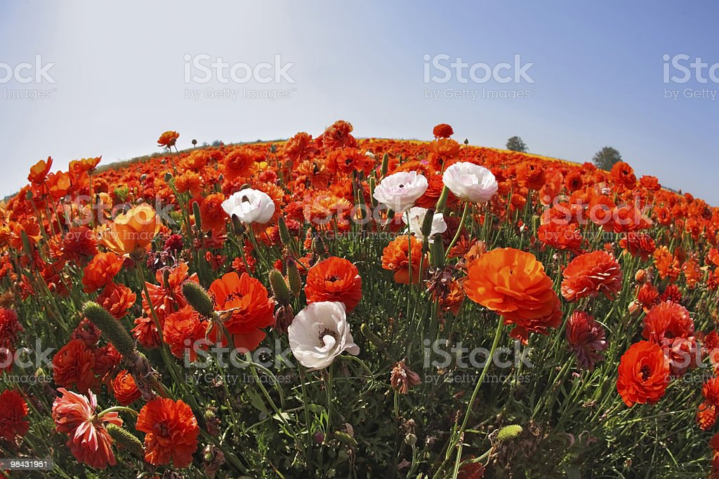 "The field of red  and white buttercups  by a ""Fish-eye"" royalty-free stock photo"