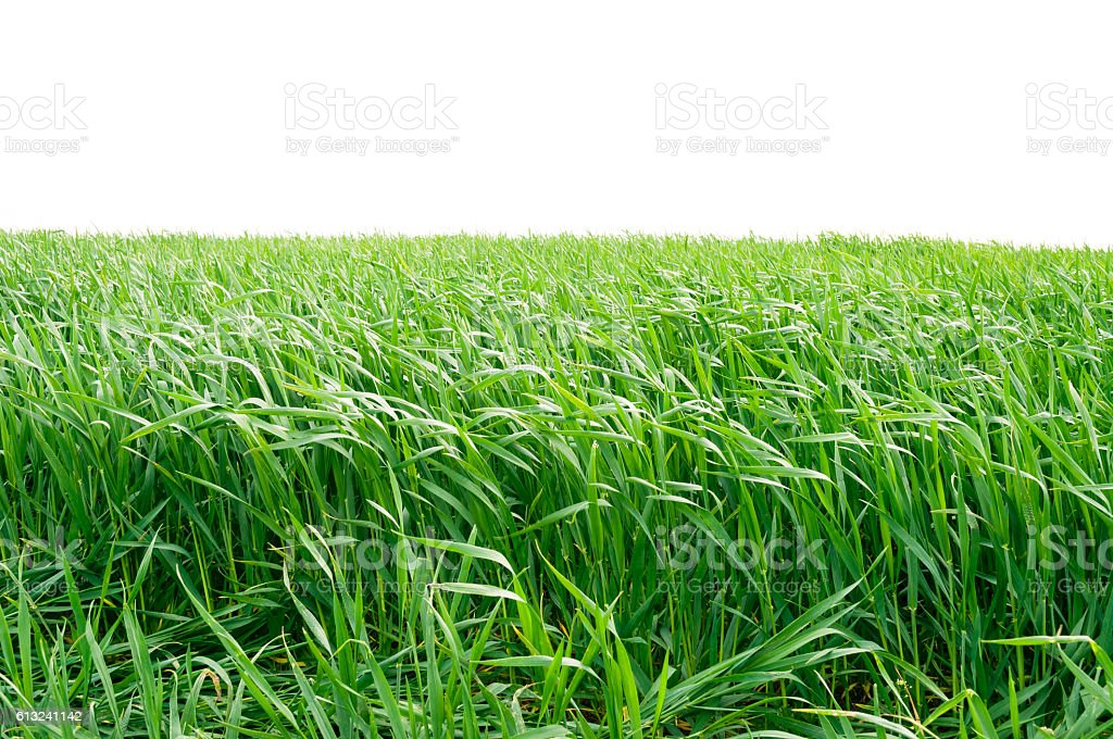 The field of young wheat. Background green grass. stock photo