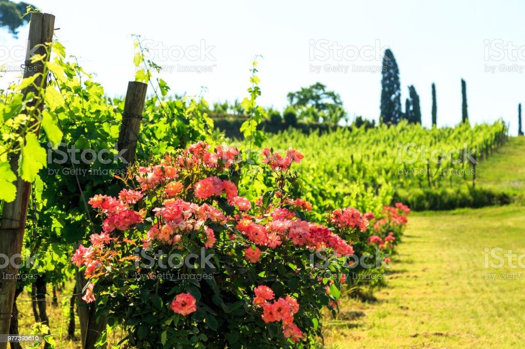 Die Felder von Friaul-Julisch-Venetien mit Weinreben angebaut - Lizenzfrei Agrarbetrieb Stock-Foto