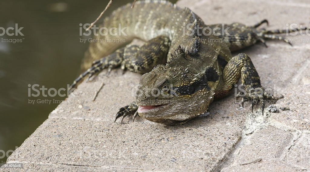 The fighter lizard stock photo