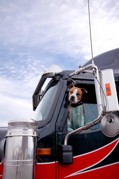 The fighting dog peeks out of the semi truck window protecting its picture id851553050?b=1&k=6&m=851553050&s=612x612&w=0&h=cf9tmxjjii tq0wphwg6pdvutbrbif9dzcdfqxfyfd8=