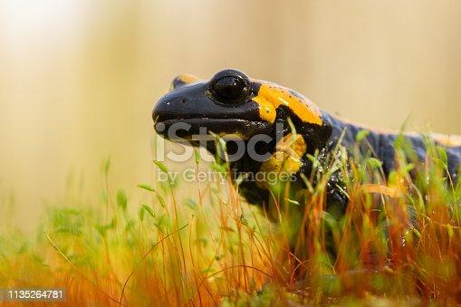 Wildlife photo of The fire salamander Salamandra salamandra