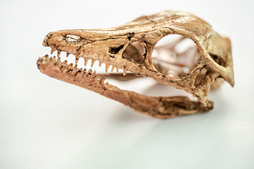 Studio shot of an archaeopteryx skull  Archaeopteryx, meaning