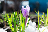 The first blue crocuses blossoming in the fluffy snow
