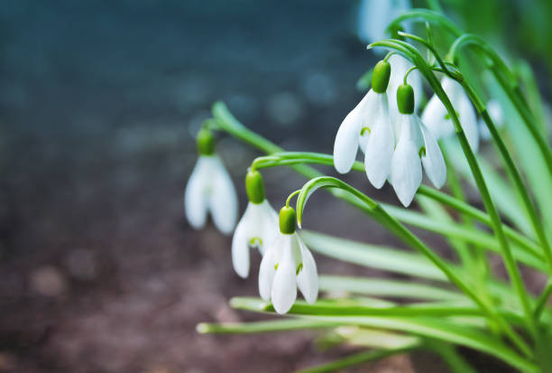 the first delicate spring snowdrops flowers in nature. - snowdrops stock photos and pictures