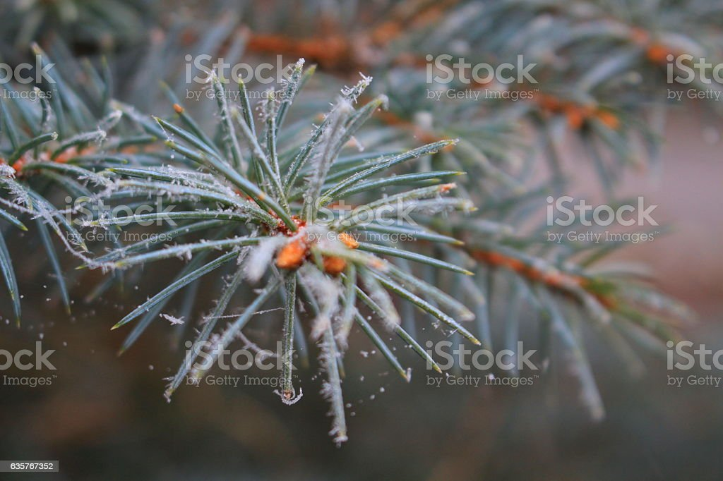 The first ice crystals on the fir-needle stock photo