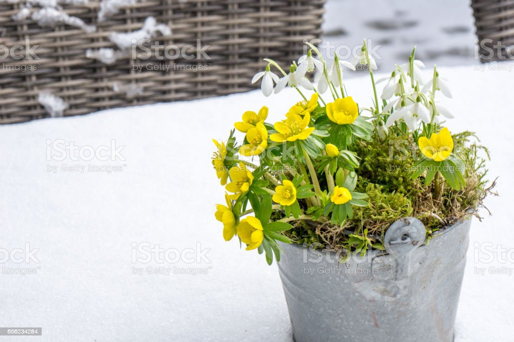 The first signs of spring. Winter aconite and snowdrops - Photo