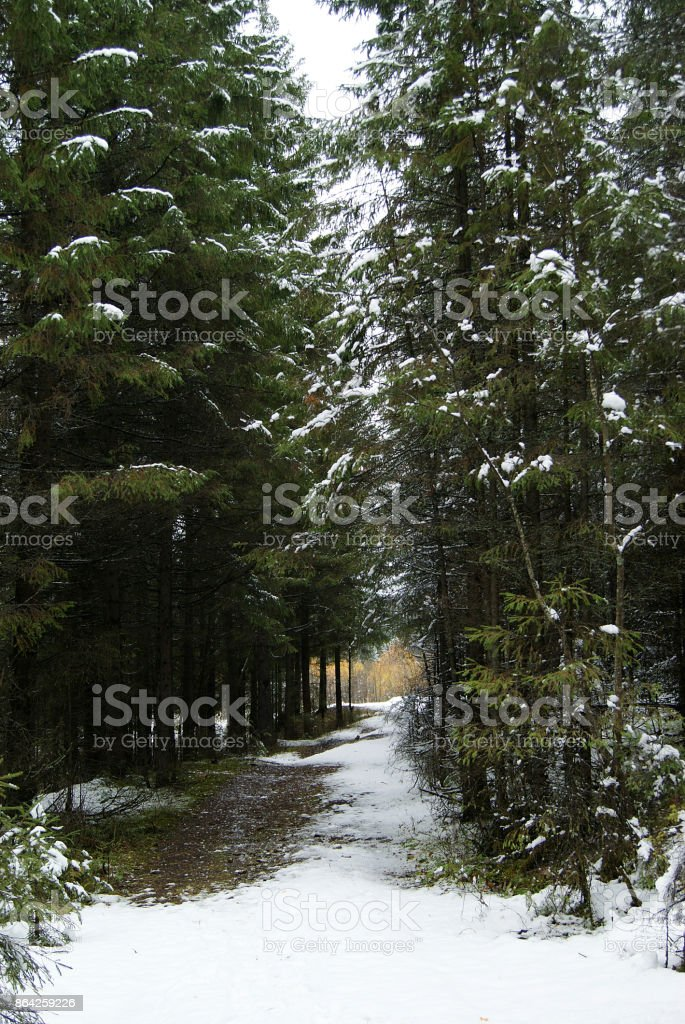 the first snow in the forest royalty-free stock photo