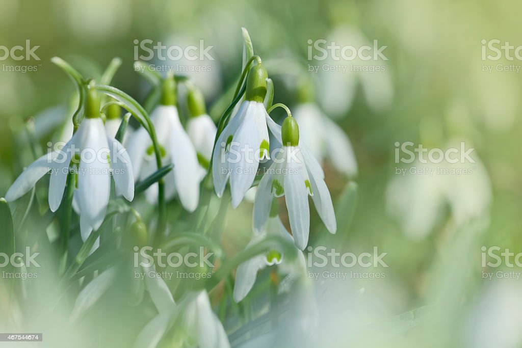 The first snowdrop flowers stock photo