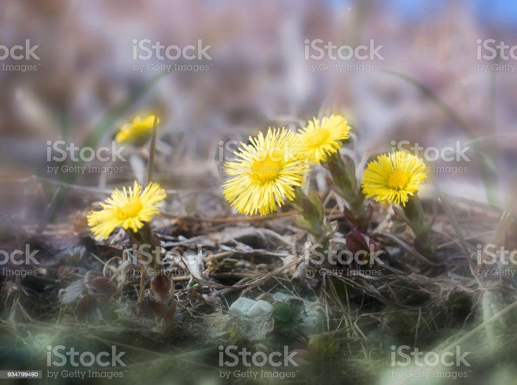 """첫 번째 봄 꽃 """"어머니와는 계 모"""" (Tussilago farfara, 머 위로 일반적으로 알려진) 건조 한 가운데 작년의 잔디 - 로열티 프리 건강관리와 의술 스톡 사진"""