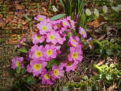 The first spring flowers on a clear sunny day. Selective focus. Pink bouquet of flowers perennial primrose. Close-up. Nature concept for design.